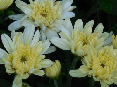 菊花, 花, 白色, 花瓣, 花束, 花香, 多彩