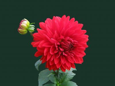 大丽花, 红色, 开花, 绽放, 分离, 花