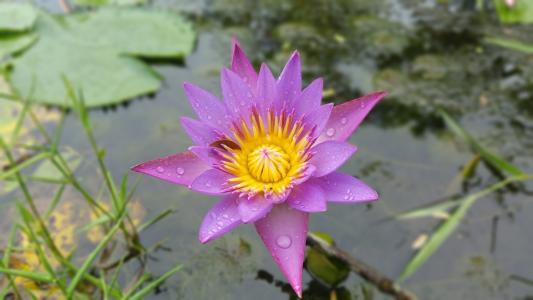 水, 水百合, 百合, 花, 自然, 植物, 莲花