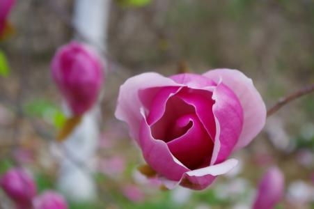 春天, 阔玉兰, 粉色