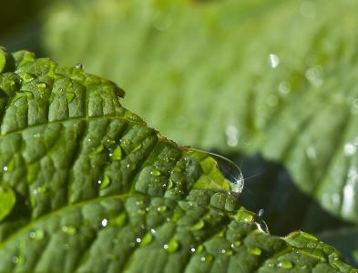 叶, 绿色, 叶大丽花, 水, 特写, 自然, 花园里的花