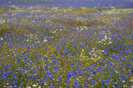 矢车菊, kornblumenfeld, 夏季, 步行, 自然, 景观, 走了
