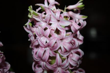 花, 风信子, 开花