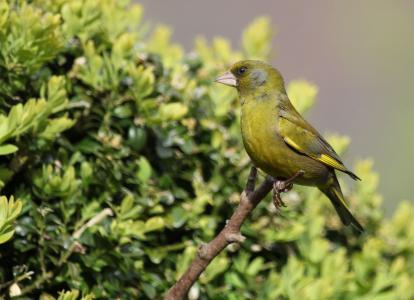鸟, 芬奇, 绿色, 栖息, 羽毛, 喙, 自然