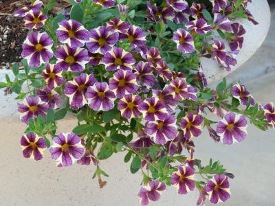 牵牛花, 花, 花园, 植物, 自然, 开花, 夏季