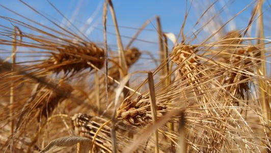 粮食, 字段, 芬兰语, 农村, 大麦, 干草, 收获