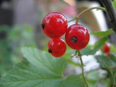 醋栗, 植物, 红醋栗, 红色, 水果, 自然, 叶
