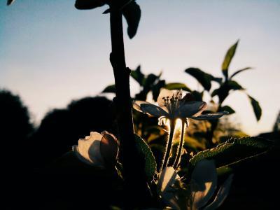 花, 树上苹果, 绽放, 春天, 树, 分公司, 太阳