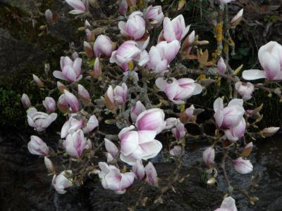木兰, 绽放, 花, 粉色, 布什, 植物, 开花
