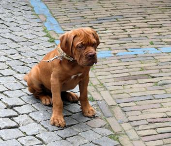 动物, 狗, dogue de 波尔多, 宠物, 小狗