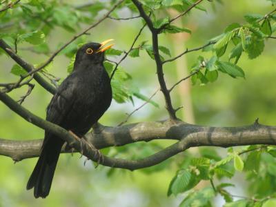 黑鹂, 男性, 物种, 广泛应用, 欧洲, 春天, 鸣禽