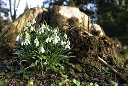 春天, 雪莲, 花, 植物, 自然