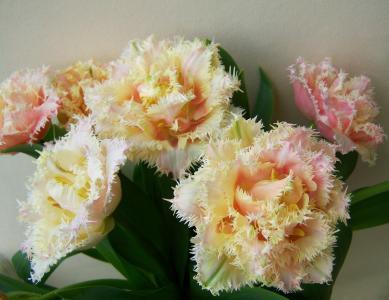 郁金香花束, 切花, 春天的花朵