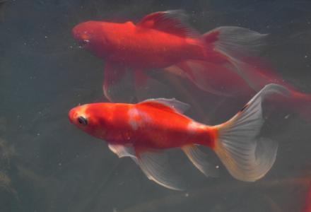 春天, 觉醒, 鱼, 动物, 金鱼, 水下, 自然