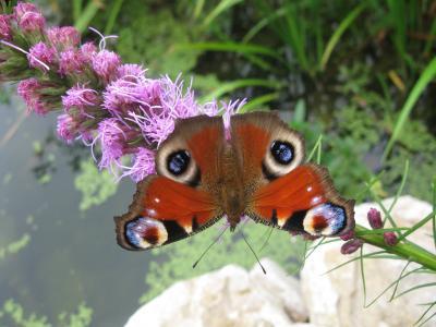 蝴蝶, 开花, 绽放, 花, 关闭, 动物, 昆虫