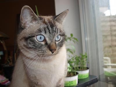 猫, 马鲛鱼, 灰色, 白色, 黑色, 暹罗, 缅甸