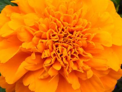橙色, 花, 开花, 绽放, 橙色的花, 橘黄色, 自然