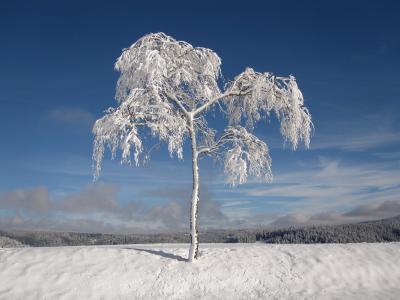 冬天, 白雪皑皑, 冷杉, 圣诞节, 感冒, 雪, 白色