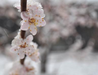 杏, 花, 绽放, 分公司, 开花, 花瓣, 新鲜