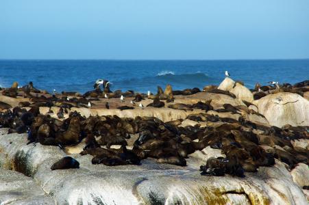 南非, 海岸, 海狮, 帽, 野生, 海, 海滩