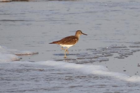 常见鹬, 鸟, 海滩, 涉禽, 加尔瓦尔, 印度, 海