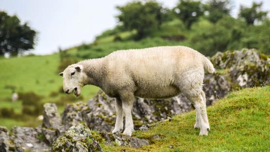 苏格兰, 英格兰, 高地和岛屿, 羊, 羔羊, 岩石, 草甸