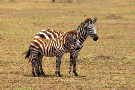 斑马, 非洲, 黑色和白色, 野生动物园, 国家公园