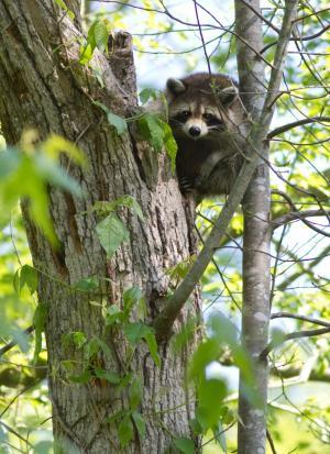 浣熊, 攀爬, 树, 可爱, 野生动物, 自然, 户外