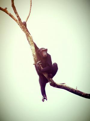 动物, 猴子, 黑猩猩, 放松, 猿, 树木, 非洲