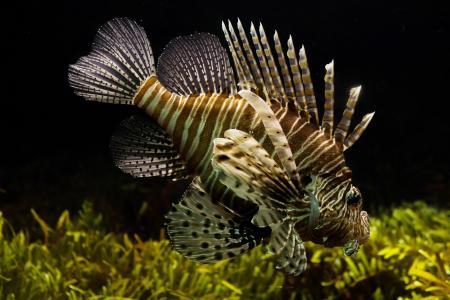 狮子, 水族馆, 海洋生物, 热带, 水下, 生态系统, 鱼