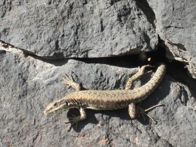 蜥蜴, 动物, 视图, 爬行动物, 墙上, 石头, 很好奇