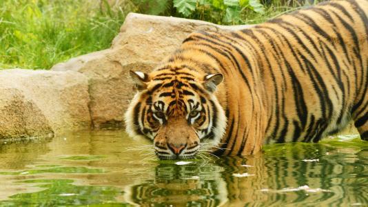 老虎, 腊, 猫, 猫科动物, 食肉动物, 条纹, 捕食者