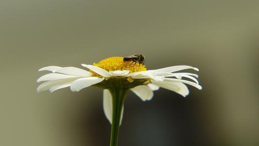 洋甘菊, 昆虫, 飞, 药用植物, 药用植物, 药材, 自然疗法