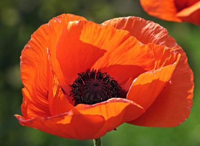 klatschmohn, 花, 开花, 绽放, 橙色的花, 橙花, 花园