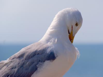 海鸥, 鸟, 海, 端口, 鸟类, 动物, 条例草案