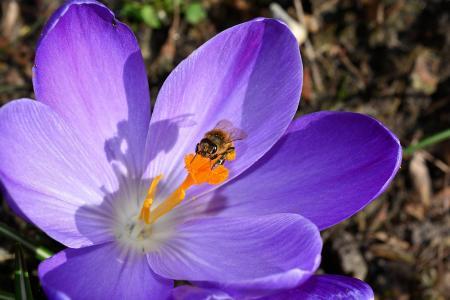 番红花, 花, 开花, 绽放, 关闭, 蜜蜂, frühlingsanfang