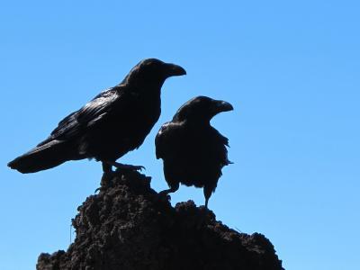 鸟类, 乌鸦, 黑色, 鸟, 自然, 动物, 乌鸦-鸟