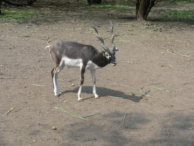 黑巴克, 羚羊, 印度, 动物园, 动物, 野生动物园, 野生动物