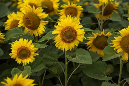 向日葵, 字段, 夏季, 农业, 黄色, 自然, 花