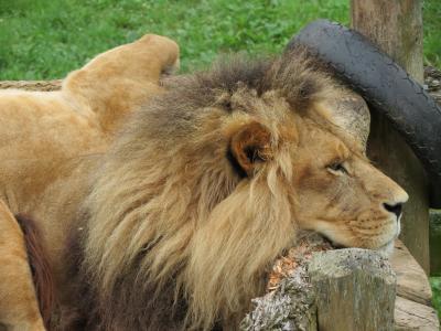 狮子, 猫科动物, 野生, 非洲, 自然, 捕食者, 野生动物园