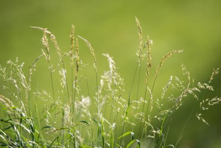 草甸, 草, 绿色, 自然, 种子, 夏季, 关闭