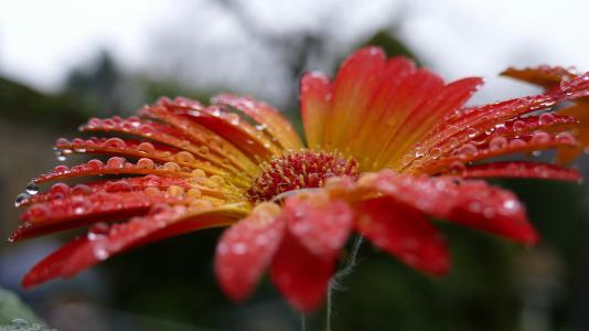 非洲菊, 花, 开花, 绽放, 滴灌, 雨滴, 水一滴