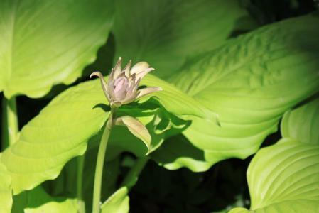 玉簪, 花, 春天, 大, 绿色, 粉色, 景观