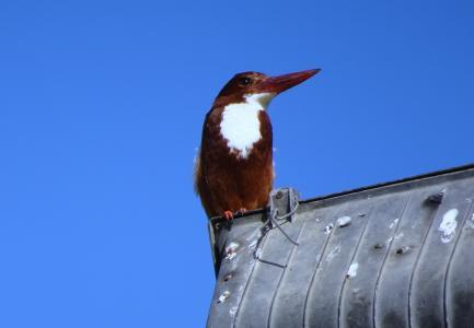 翠鸟, 鸟, 白-喉, 野生动物, 自然, 喙, 动物群