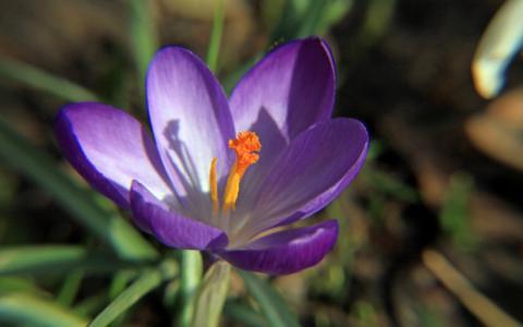 番红花, 紫色, 宏观, 开花, 绽放, 关闭, 春天的花朵