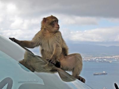 巴巴利猕猴, 野生动物, 猴子, 动物, 车窗外, 可爱, 外面