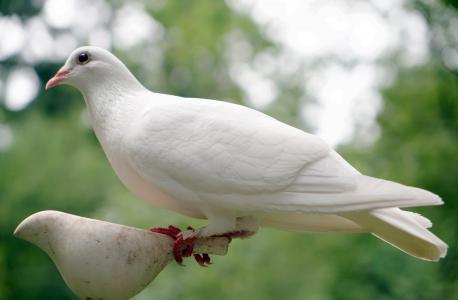 鸽子, 鸟, 自然, 和平, 白色, 希望, 符号