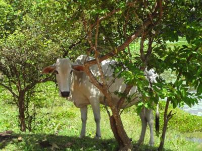 动物, 母牛, 牛