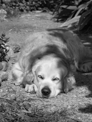 狗, 金, 金毛猎犬, 动物, 平静, 睡眠, 休息