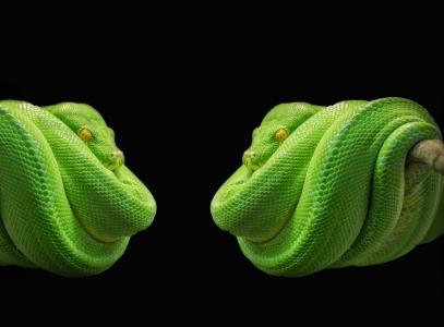 python, 蛇, 绿树巨蟒, 绿色, 树蛇, 有毒, 动物